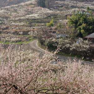 매화꽃이핀 마을